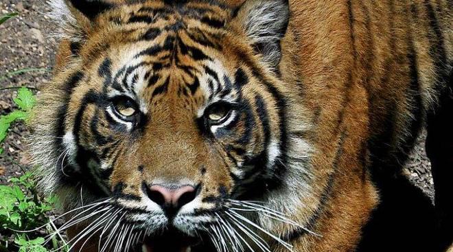 La tigre Kasih