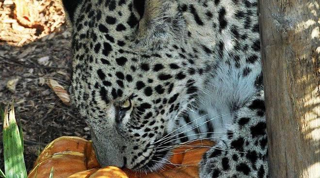 MDG6410 leopardo_vert
