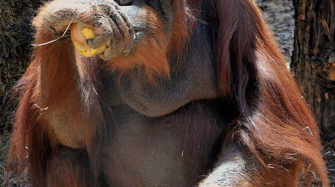 Oranghi al Bipoarco