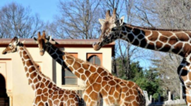 Giraffa, un animale da record!