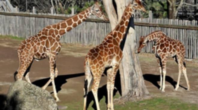 Giraffa, un animale da record!