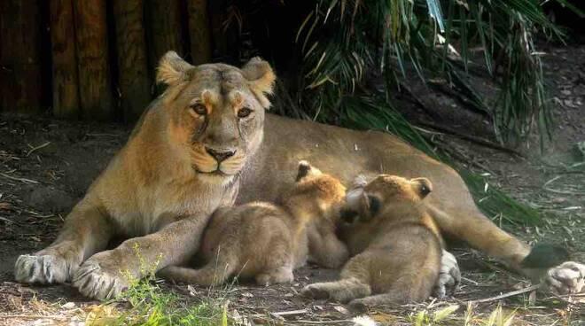 Animali: Bioparco Roma battezza due cucciole di leone asiatico, evento storico (2)