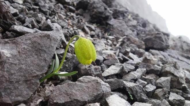 Fritillaria delavayi